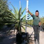Prime-Trees-Cape-Town-Bitter-Aloe-Tree-Aloe-ferox-100l