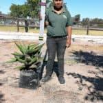 Prime-Trees-Cape-Town-Bitter-Aloe-Tree-Aloe-ferox-20l