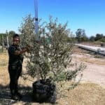 Prime-Trees-Cape-Town-Camphor Bush-Tree-Tarchonanthus camphoratus-100l