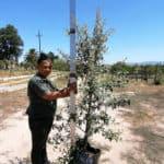 Prime-Trees-Cape-Town-Camphor Bush-Tree-Tarchonanthus camphoratus-50l
