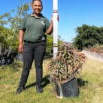 Prime-Trees-Cape-Town-Candelabra-Tree-Aloe-arborescens-20l