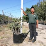 Prime-Trees-Cape-Town-Candelabra-Tree-Aloe-arborescens-50l