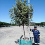 Prime-Trees-Cape-Town-Carob-Tree-Ceratonia-siliqua-500l