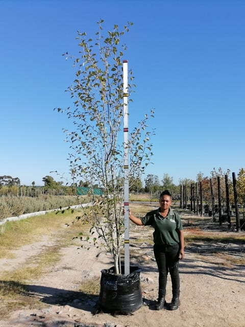 Prime-Trees-Cape-Town-Chinese Poplar-Tree-Populus simonii-100l