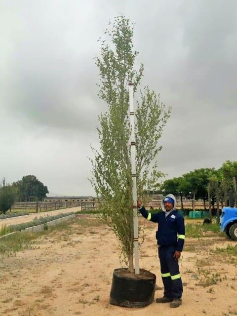 Prime-Trees-Cape-Town-Chinese Poplar-Tree-Populus simonii-200l