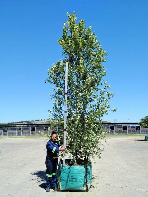 Prime-Trees-Cape-Town-Chinese Poplar-Tree-Populus simonii-500l