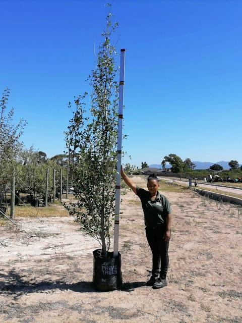 Prime-Trees-Cape-Town-Chinese Poplar-Tree-Populus simonii-50l