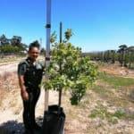 Prime-Trees-Cape-Town-English Oak-Tree-Quercus robur-50l