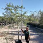 Prime-Trees-Cape-Town-Fever tree-Vachellia xanthophloea-100l