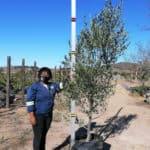 Prime-Trees-Cape-Town-Frantoio-Olive-Tree-Olea-europaea-frantoio-100l