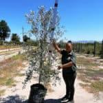 Prime-Trees-Cape-Town-Frantoio-Olive-Tree-Olea-europaea-frantoio-50l