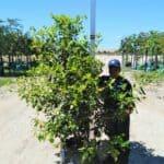 Prime-Trees-Cape-Town-LaurustinusTree-Viburnum tinus-100l
