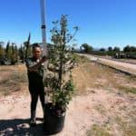 Prime-Trees-Cape-Town-LaurustinusTree-Viburnum tinus-50l