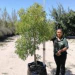 Prime-Trees-Cape-Town-Lavender-Tree-Heteropyxis-natalensis-100l