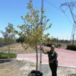 Prime-Trees-Cape-Town-London-Plane-Tree-Platanus-x-acerifolia-100l