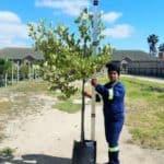 Prime-Trees-Cape-Town-London-Plane-Tree-Platanus-x-acerifolia-50l