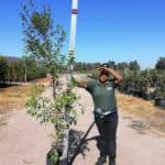 Prime-Trees-Cape-Town-Magenta cherry-Tree-Syzygium paniculatum-20l