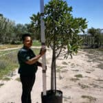 Prime-Trees-Cape-Town-Moretonbay-Fig-Tree-Ficus-rubiginosa-50l