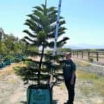Prime-Trees-Cape-Town-Norfolk-Island-Pine-Araucaria-heterophylla-250l