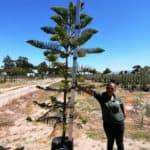 Prime-Trees-Cape-Town-Norfolk-Island-Pine-Araucaria-heterophylla-50l