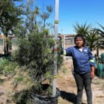 Prime-Trees-Cape-Town-Outeniqua-Yellowwood-Tree-Afrocarpus-falcatus-100l
