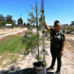 Prime-Trees-Cape-Town-Outeniqua-Yellowwood-Tree-Afrocarpus-falcatus-50l