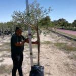 Prime-Trees-Cape-Town-Paperbark Thorn-Tree-Vachellia sieberiana-50l