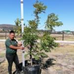 Prime-Trees-Cape-Town-Pecan-Wichita-Tree-Carya-Illinoinensis-Wichita-100l