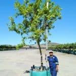 Prime-Trees-Cape-Town-River-Bushwillow-Tree-Combretum-erythrophyllum-500l