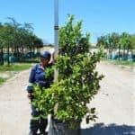 Prime-Trees-Cape-Town-Sweet Viburnum-Tree-Viburnum sinensis-100l