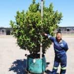 Prime-Trees-Cape-Town-Sweet Viburnum-Tree-Viburnum sinensis-250l