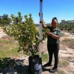 Prime-Trees-Cape-Town-Sweet Viburnum-Tree-Viburnum sinensis-50l
