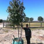 Prime-Trees-Cape-Town-Sweet-gum-Tree-Liquidambar-styraciflua-250l