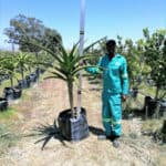 Prime-Trees-Cape-Town-Tree-Aloe-barberae-100l