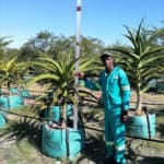 Prime-Trees-Cape-Town-Tree-Aloe-barberae-250l-short