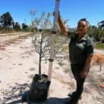 Prime-Trees-Cape-Town-Wild-Olive-Tree-Olea-europaea-subsp-africana-50l