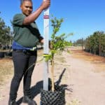 Prime-Trees-Cape-Town-Kei-Apple-Tree-Dovyalis-caffra-20l