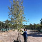 Prime-Trees-Cape-Town-Primrose-Tree-Lagunaria-patersonii-200l